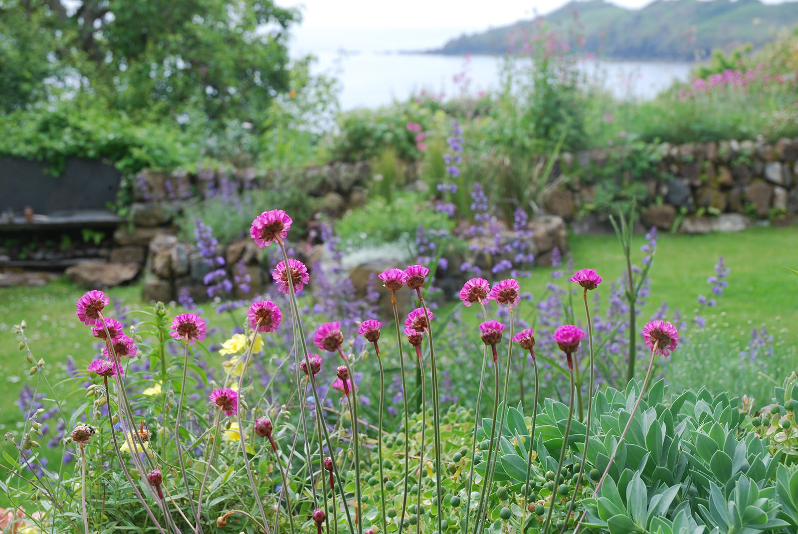 Native plants in Coverack Cottage Garden